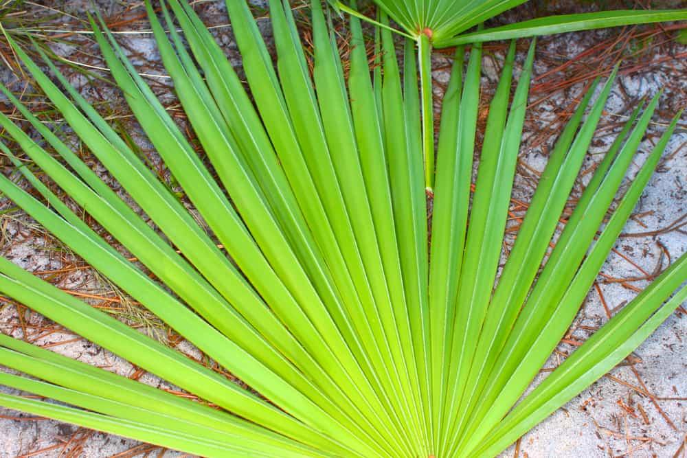 palma sabałowa saw palmetto