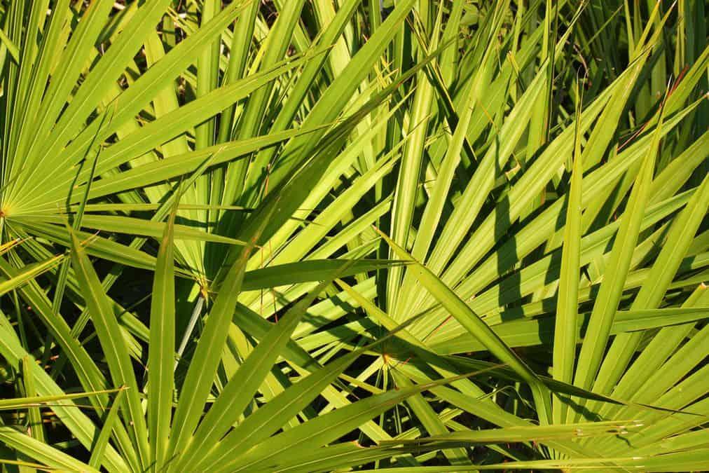 palma sabałowa