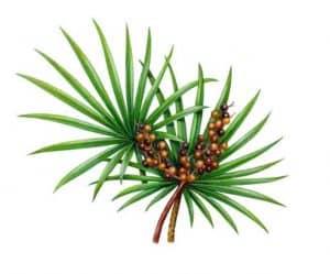 palma sabałowa rysunek
