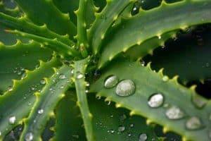 liście aloesu