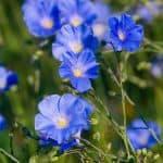 kwiaty siemienia lnianego