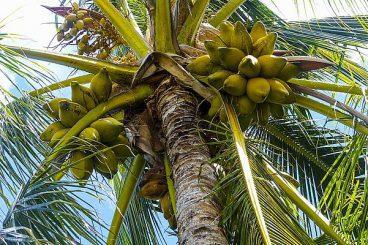 kokosy na palmie kokosowej