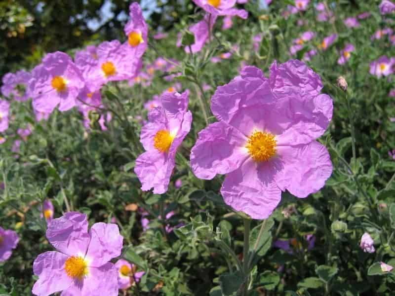 kwiaty czystka