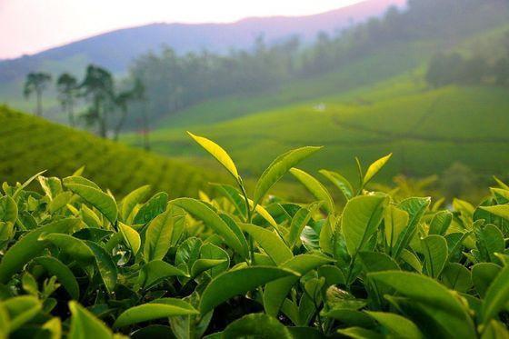 rosnąca zielona herbata