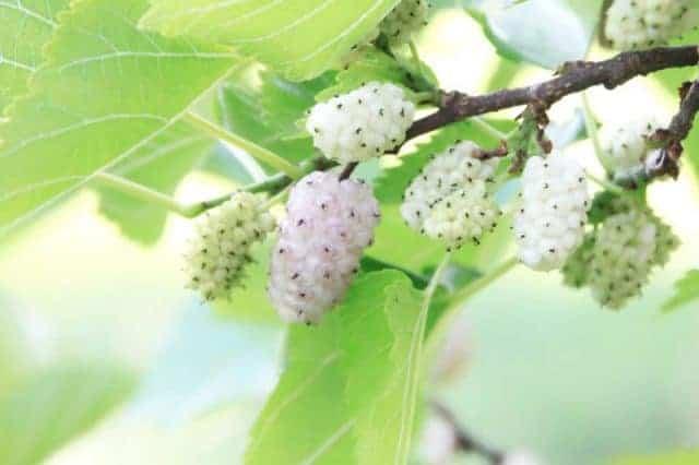 Morwa biała na odchudzanie – sposób na nieposkromiony apetyt