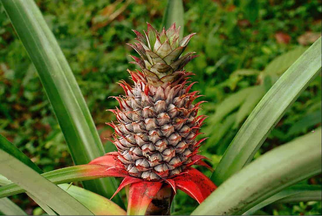 rosnący ananas