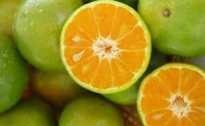 owoce gorzkiej pomarańczy