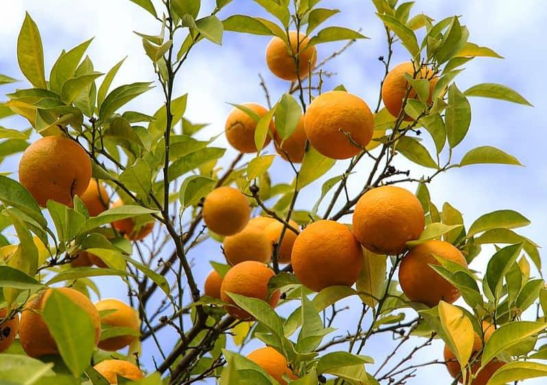 gorzka pomarańcza
