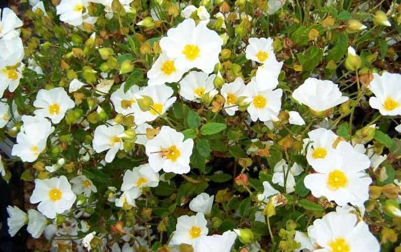 Czystek (cistus) – zioło o cennych właściwościach zdrowotnych i odchudzających