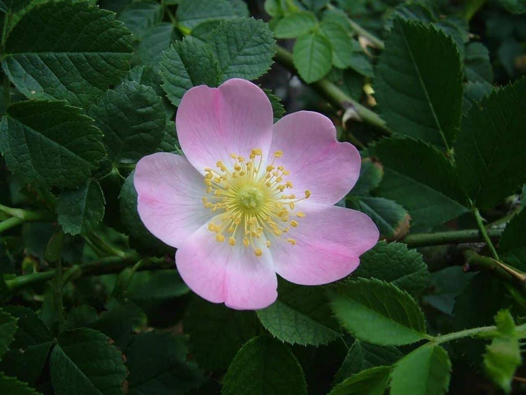kwiat dzikiej róży