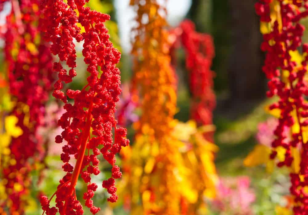 rosnąca quinoa