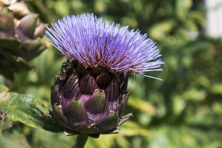 kwiat karczocha