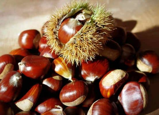 owoce kasztanowca