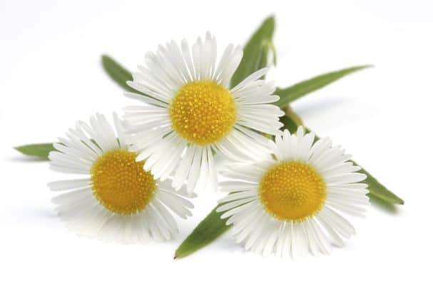 kwiaty rumianka
