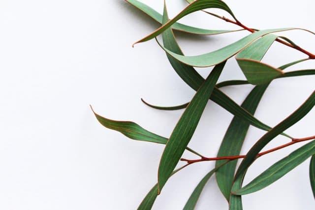 liście eukaliptusa
