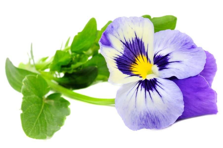 fiołek trójbarwny